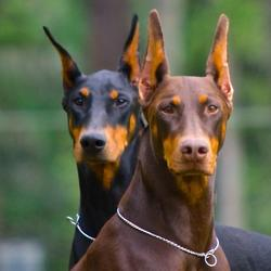 My Doberman Roommates